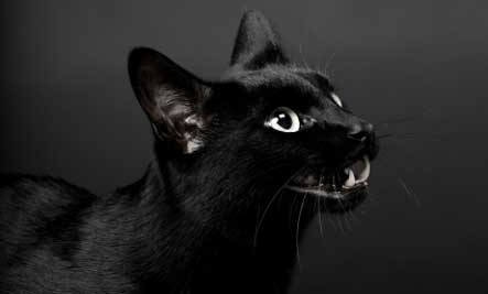 Halloween Superstition - scary black cat - Black Cat Superstition