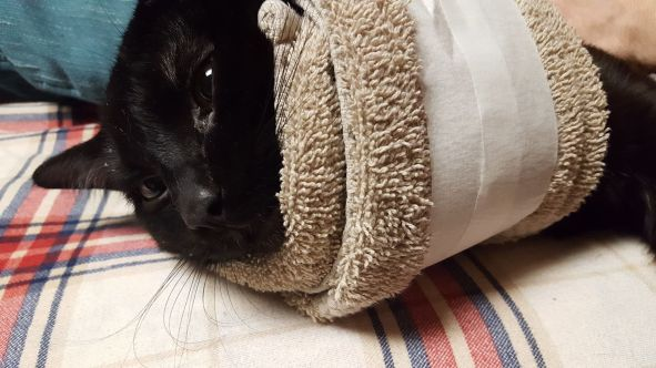 Joel the Brave and a Towel Collar to help prevent licking after being neutered. | Photo Credit Heather Patterson