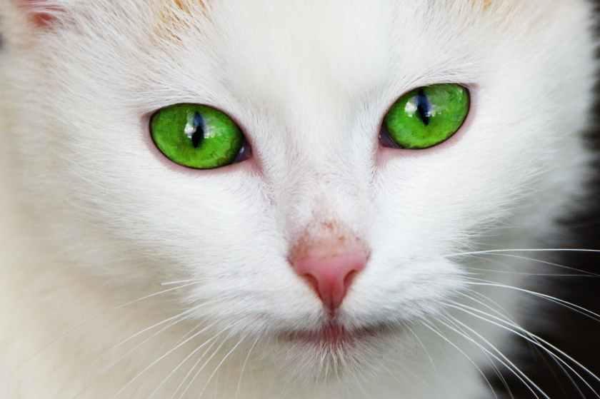animal pet eyes fur