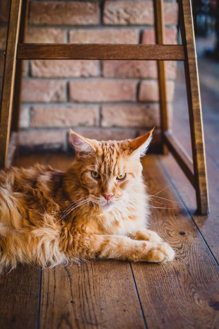 adult maine coon on floor