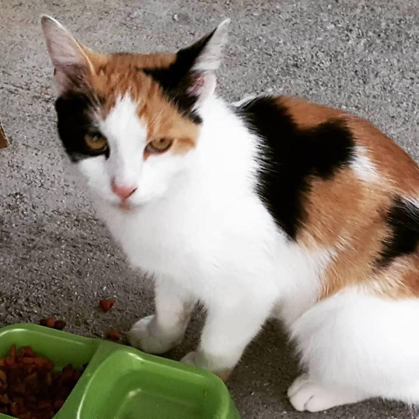 Gypose Rose (Calico Cat)