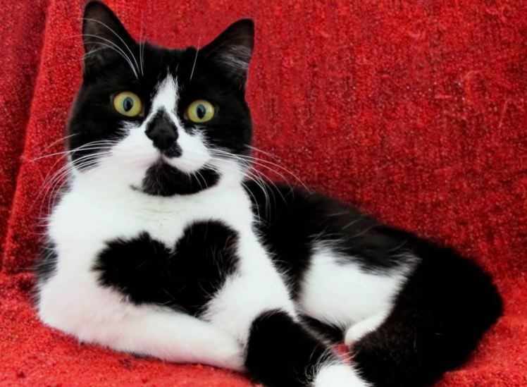 Meet Zo 235 The Heart Shaped Marking Cat 2 Cats And A Blog