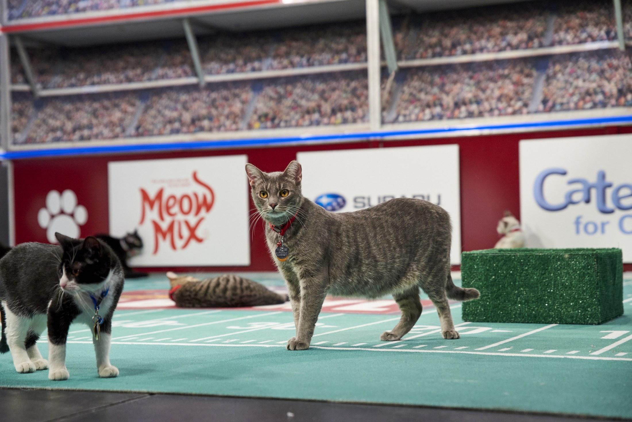 Cat Bowl / Kitten Bowl