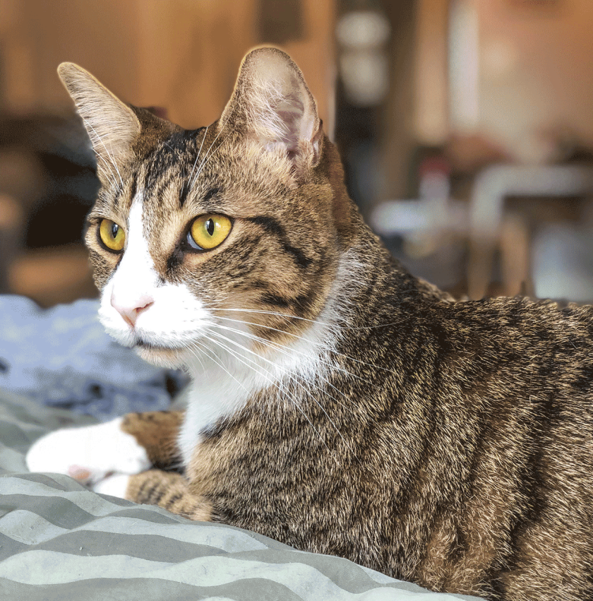 Understanding feline diabetes - Diabetes is a condition most often associated with humans. But this potentially debilitating disease can even affect pets, including the family cat.