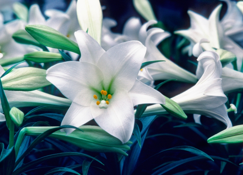 Easter Lillies Can Kill a Cat? - This popular plant is deadly to cats.