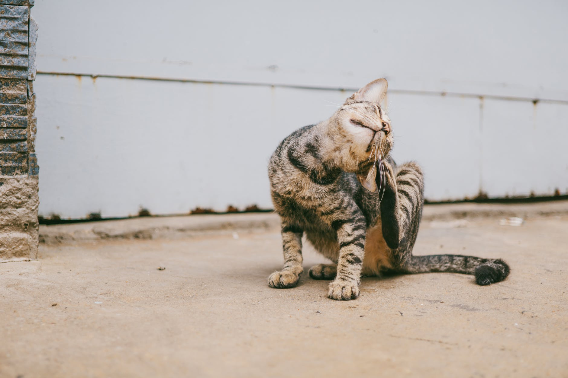 6 signs your cat has fleas